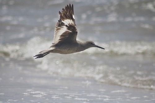 Sandpiper Flying