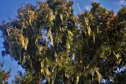 Weeping Wilow Tree