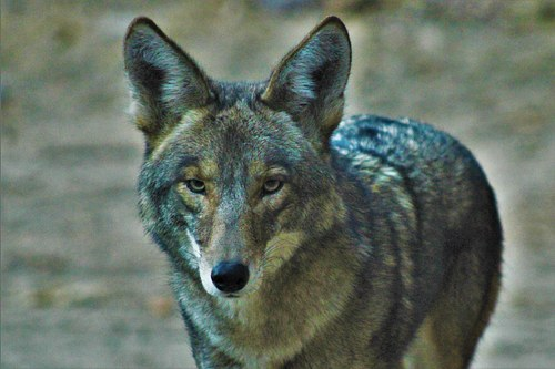Coyote Male in Griffith Park