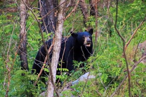 Black Bear in Smoky Mountains