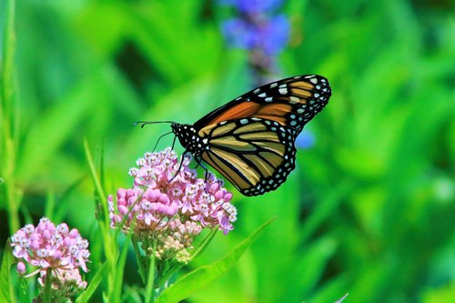 Monarch Butterfly at Rest on Flowers