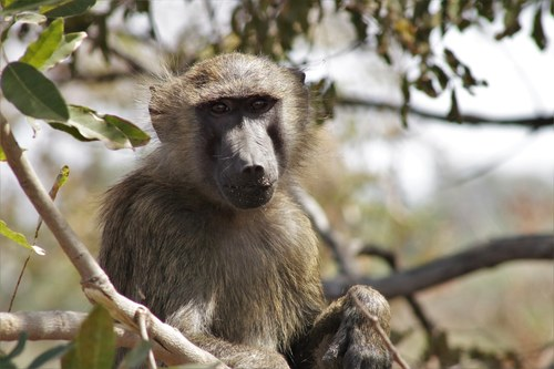 Baboon At Rest