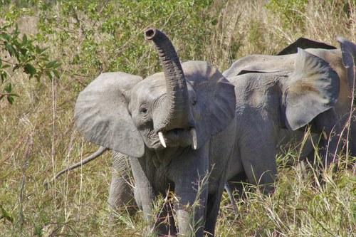 Elephant Sending Warning