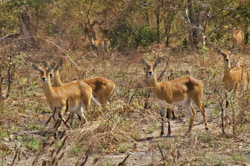 Herd of Antelope