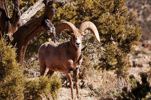 Ram in Grand Canyon