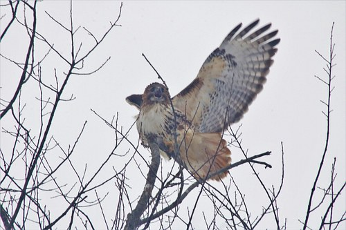 Hawk about to take Off