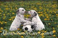 Dalmation Puppies  playing with ball