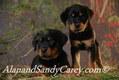 Rottweiler Puppy Pair