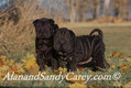Shar Pei Puppy Pair