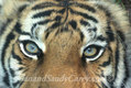 Bengal Tiger Eyes res