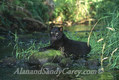 African Black Leopard Panthera Pardus