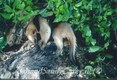 Anteater Tamandua feeding on ants, Belize, C.A