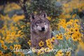 Grey wolf in arrow leaf balsam root flowers