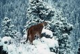 Mountain Lion in winter Montana