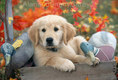 Golden Retriver Puppy with Duck Decoys in Autumn