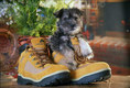 Mini Schnauzer Puppy Playing in Shoe