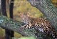 Amur Leopard Cub, Panthera Pardus Orientalis, Range Nothern China, Korea