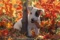 Jack Russel Terrier Puppy with pine cones in Autumn