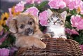 Lhasa Apso Puppy playing with Tabby Kitten