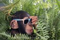 Chimpanzee with sunglasses