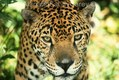 Jaguar in Rain Forest Central America