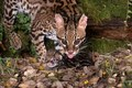 Female Ocelot with her small Kitten Belize