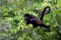 HowlerMonkeySwing in Tree