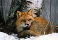 Snuggling Fox.